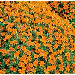 Aksamitka rozp. Champion Flame T. patula nana fl.pl. bordo.-żółta 0,5g
