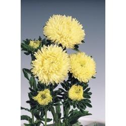Aster igiełkowy wysoki Inga C. chinensis fl.pl. róż.-czerw. 1g