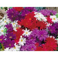 Bratek wielkokwiatowy Viola wittrockiana fl.pl. biały z plamą 0,2g